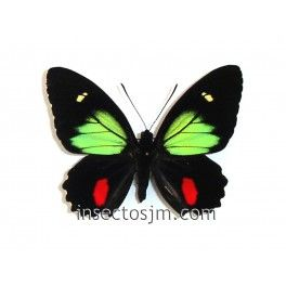 Parides  childrenae childrenae (Macho)