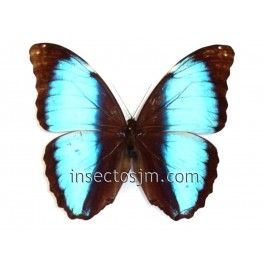 Morpho deidamia ortholemus (Male)